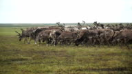 A herd of deer in the tundra. The Yamal Peninsula. video