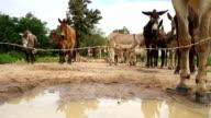 Herd of donkeys and mule behind fence video