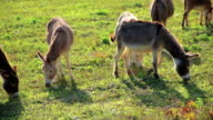 Herd of donkeys on the meadow video