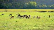 Herd of donkeys video
