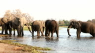 Herd of elephants drinking in a river in the Okavango Delta video