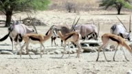 herd of Gemsbok, Oryx gazella and springbok on waterhole video