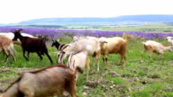 Herd of goats grazing in mountains video