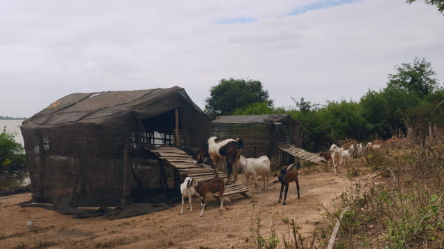 Herd of goats outside their shed next to the riverside video