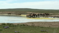 Herd Of Horses At Waterhole On Mongolian Steppe video