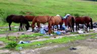 Herd of horses eats food waste on dump video
