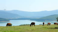 Herd Of Horses Grazing At Mountain Valley video