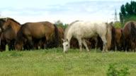 Herd of horses in the russian prairie video