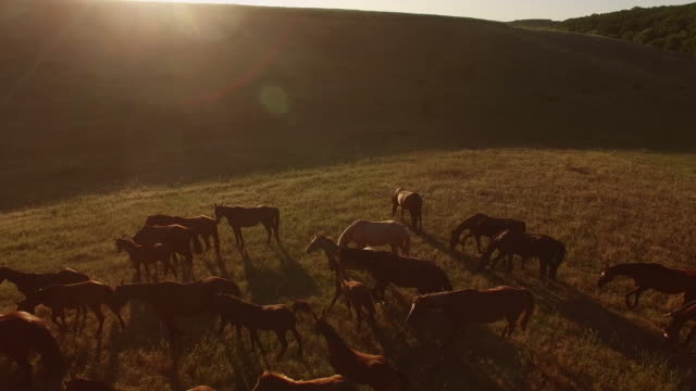 Herd of horses is galloping. video