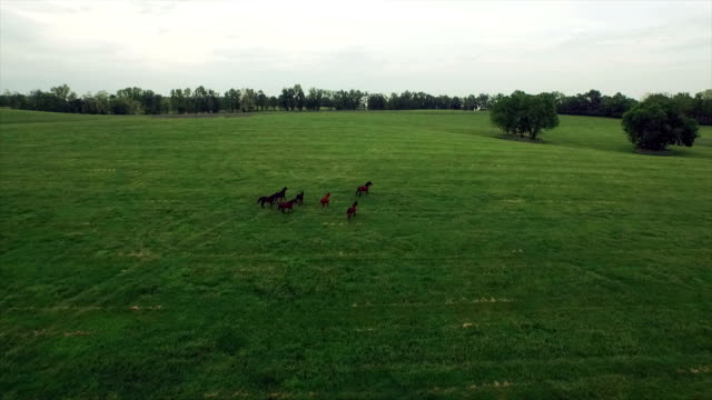 AERIAL: A herd of horses running free video
