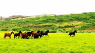 Herd of horses running in the green field video