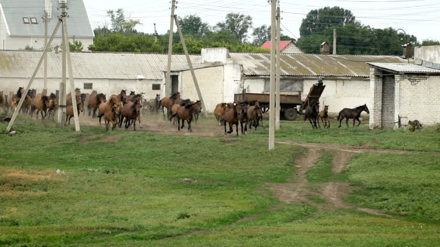 Herd of horses running on the pasture in autumn video