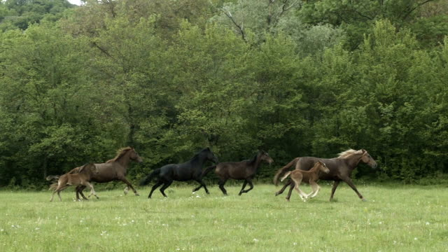 Herd Of Hurrying Horse On The Field video
