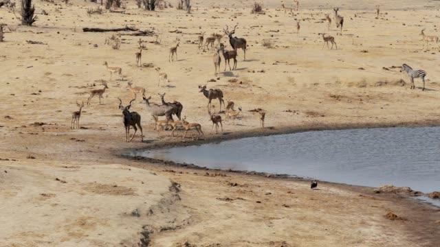 herd of Kudu and spingbok drinking from waterhole, Africa safari wildlife video