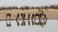 herd of Kudu drinking from waterhole video