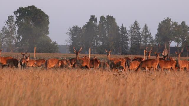 Herd of male and female bucks deers grown in captivity on pasture video