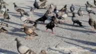 Herd of pigeons video