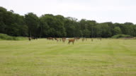 Herd of red deer in the New Forest Hampshire England video