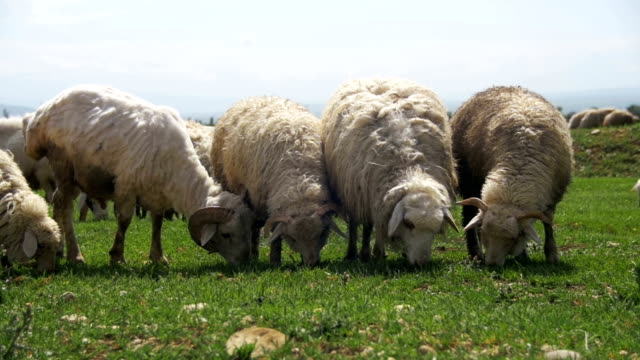 Herd of Sheep Grazing in the Field against the Backdrop of the Mountains. Slow Motion video