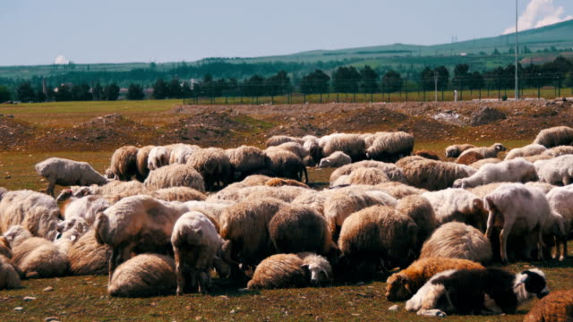 Herd of Sheep Grazing in the Field against the Backdrop of the Mountains video
