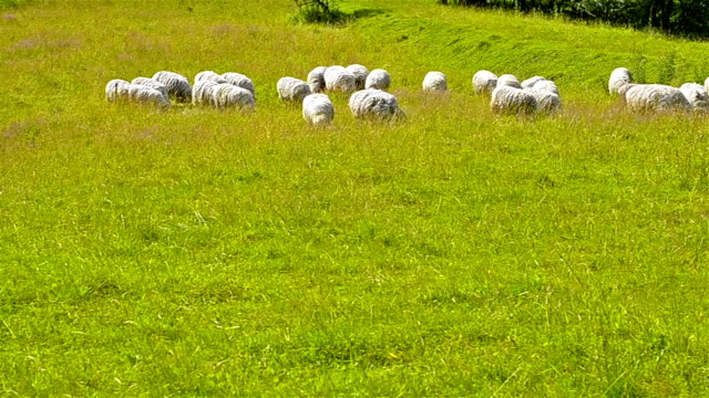 Herd of sheep, lamb and goats grazing in field of green grass. Farm Pets, bred for meat and wool, walk in pasture. Neman, Kaliningrad region, Russia video
