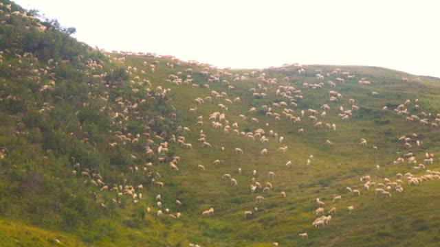 Herd of Sheeps graze alpine pasture on rocky mountain steep slope meadow video