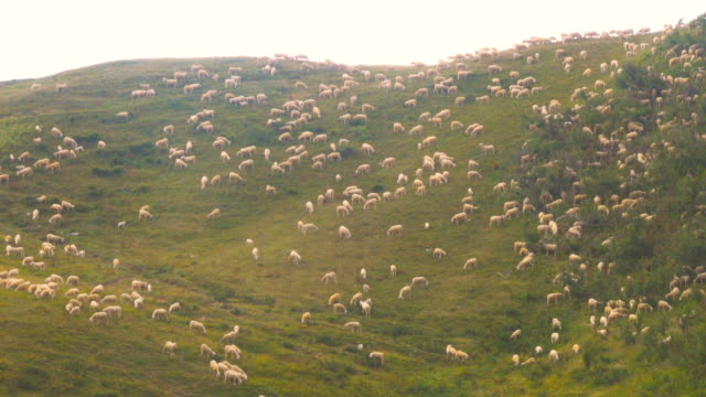 Herd of Sheeps graze alpine pasture on rocky mountain steep slope meadow video