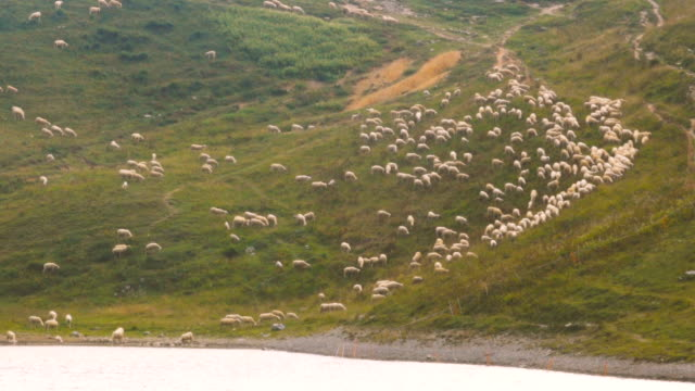 Herd of Sheeps graze alpine pasture on rocky mountain steep slope meadow and lake video