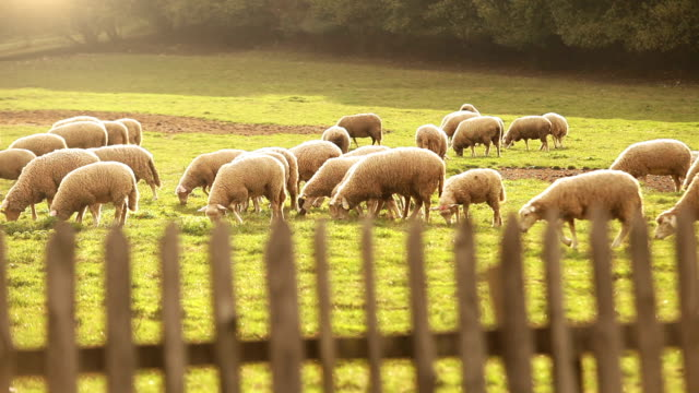 Herd of sheeps pasture on the juicy grass in the evening video