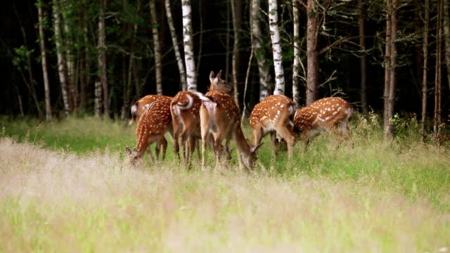 Herd of spotted deer grazing video