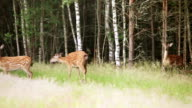 A herd of spotted deer video