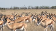 Herd of Springbocks video