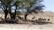 herd of springbok hiding under a big acacia video