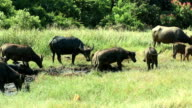 A herd of water buffalo in a mud hole in a game reserve inThailand video