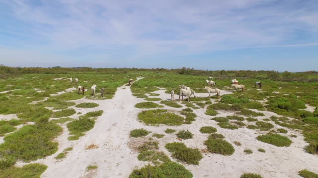 AERIAL: Herd of white horses living in the wilderness video