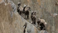 Herd of wild bighorn sheep on cliff face, Colorado video