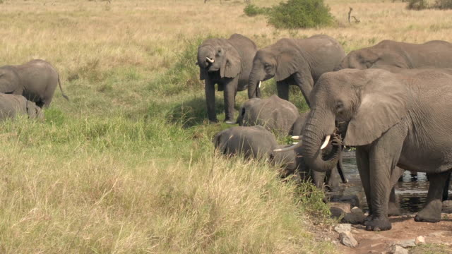 CLOSE UP: Herd of wild elephants drinking water from creek in natural habitat video
