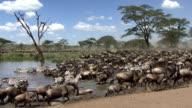 Herd of wildebeest and zebra resting video