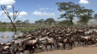 Herd of wildebeest and zebras at the river video