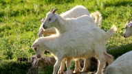 Herd of young goats grazing on the grass field in rural countryside video