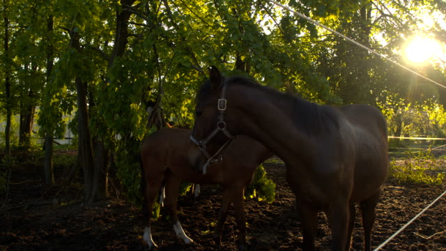 CLOSE UP: Herd of young horses and foals relaxing in the shade of tree canopies video