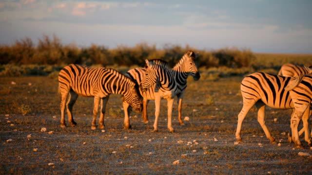 Herd of zebras walking through savannah. Sunset video