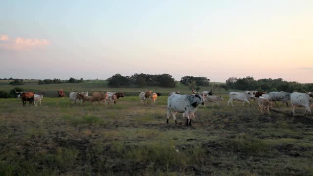 Herding Longhorns video