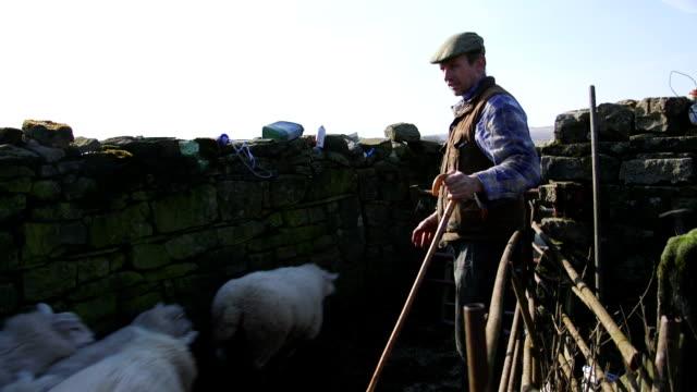 Herding Sheep into a Pen video