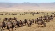 Herds of wildebeests in Ngorongoro video