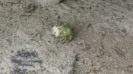 Hermit crab crawling on the sand video