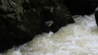 Heron bird fishing by a fast flowing river white water video