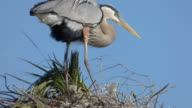 Heron Chick Picking on His Sibling video