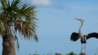 Heron Flying To His Nest video