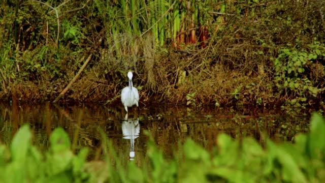 Heron hunting on a lake video